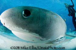 Up close and personal wit this Blue spotted Tiger shark. by Mike Ellis 